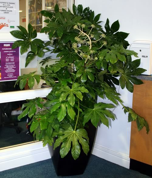 japanska växter inomhus