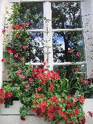 Фото дипладения лиана балконные