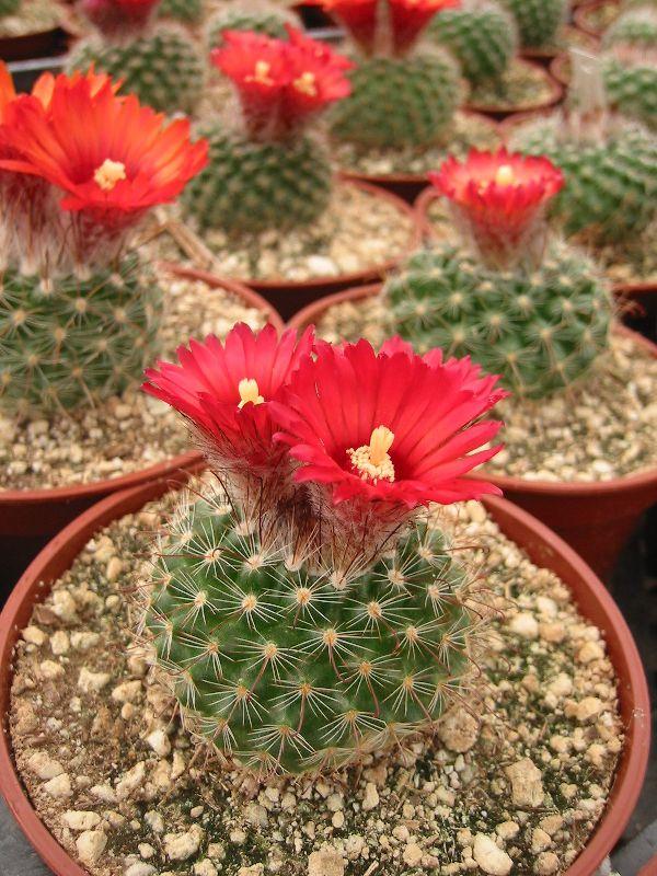 домашние кактусы