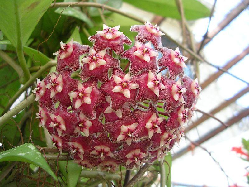 Фото домашние цветы хойя цвет