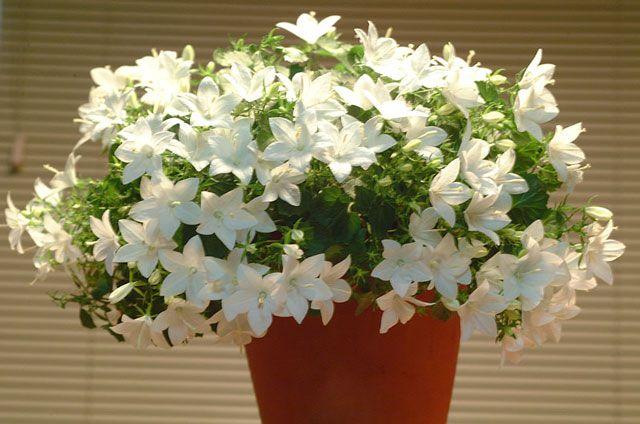 Фото домашние цветы кампанула цвет