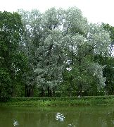 silvery Willow Plant photo