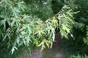 silvery Maple Plant photo
