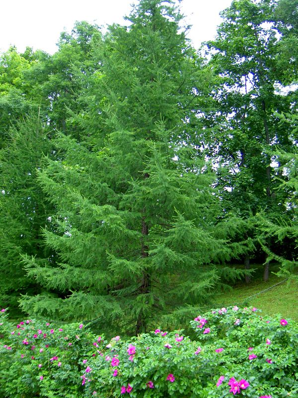 Фото садовые декоративные деревья и