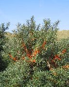 silvery Sea Buckthorn, Sea Berry Plant photo