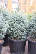 silvery Fir Plant photo