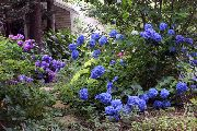 dark blue Common hydrangea, Bigleaf Hydrangea, French Hydrangea Garden Flowers photo