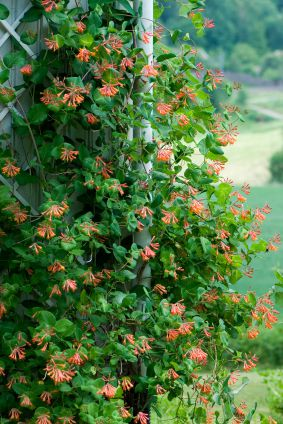 Деревья и кустарники цветы жимолость
