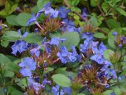dark blue Leadwort, Hardy Blue Plumbago Garden Flowers photo