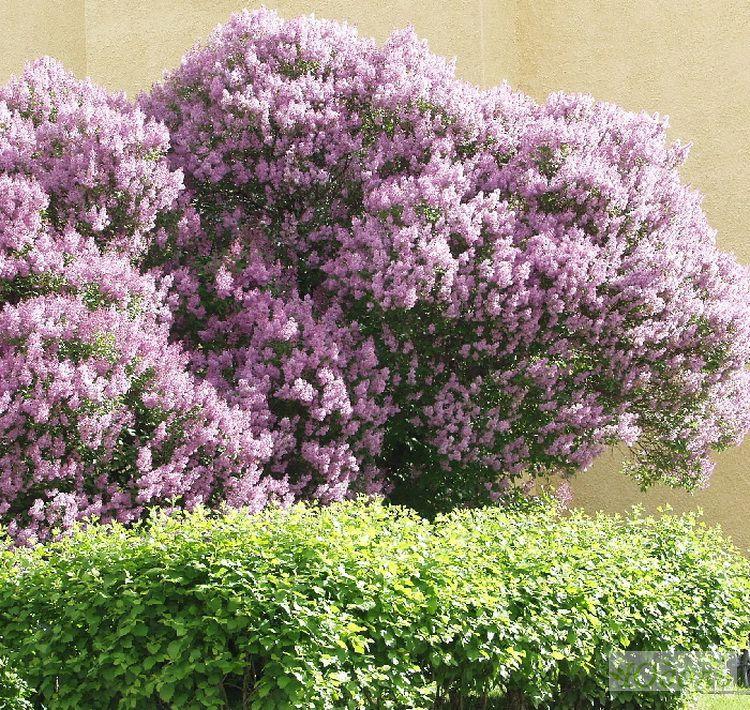 Фото красиво цветущие садовые деревья