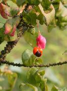 photo Spindle tree Flower