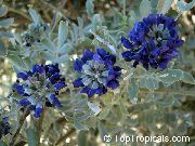 dark blue Texas Mountain Laurel, Mescal Bean Garden Flowers photo