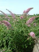 photo Butterfly Bush, Summer Lilac Flower