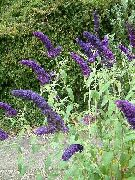 dark blue Butterfly Bush, Summer Lilac Garden Flowers photo