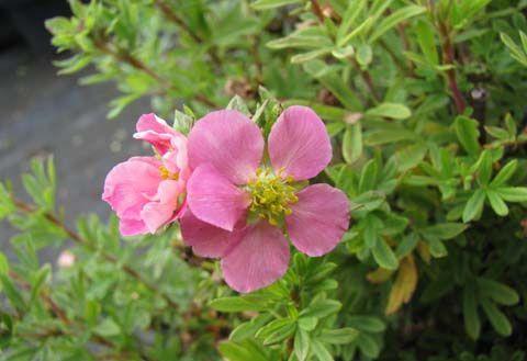 Цветы розовые пятилисточник лапчатка