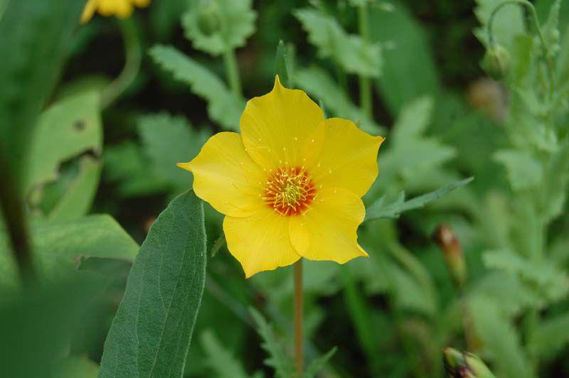Цветы желтые бартония фото