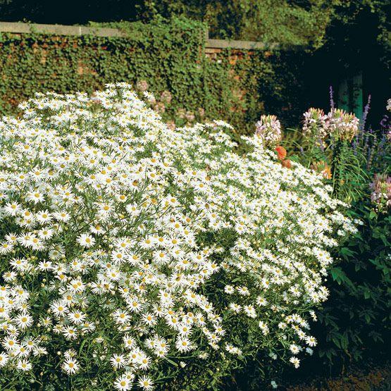 Декоративные садовые цветы болтония