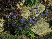 blue Sheep's bit Scabious, Creeping Winter Savory Garden Flowers photo