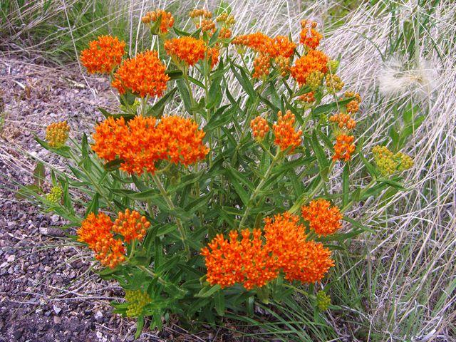Цветы оранжевые ваточник туберозовый