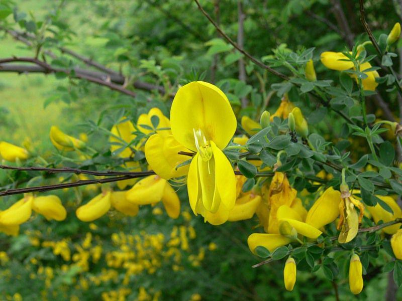 Цветы желтые жарновец фото