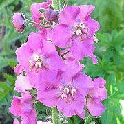 Декоративные садовые цветы коровяк