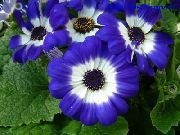 azul Cineraria Do Florista  foto