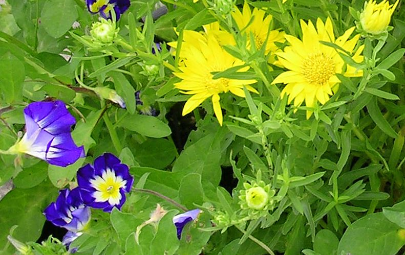 Цветы желтые ксантисма фото
