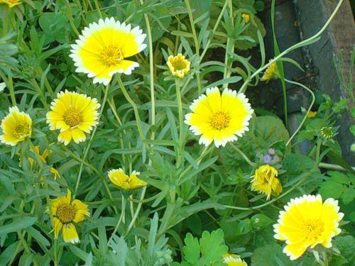 Цветы желтые лейя фото