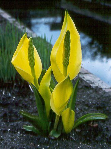 Цветы желтые лизихитон фото