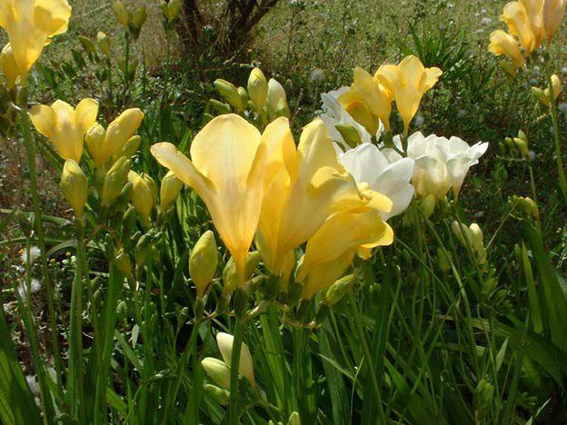 Цветы желтые фрезия фото