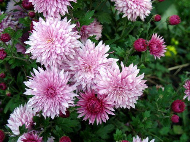 Цветы хризантема корейская розовые