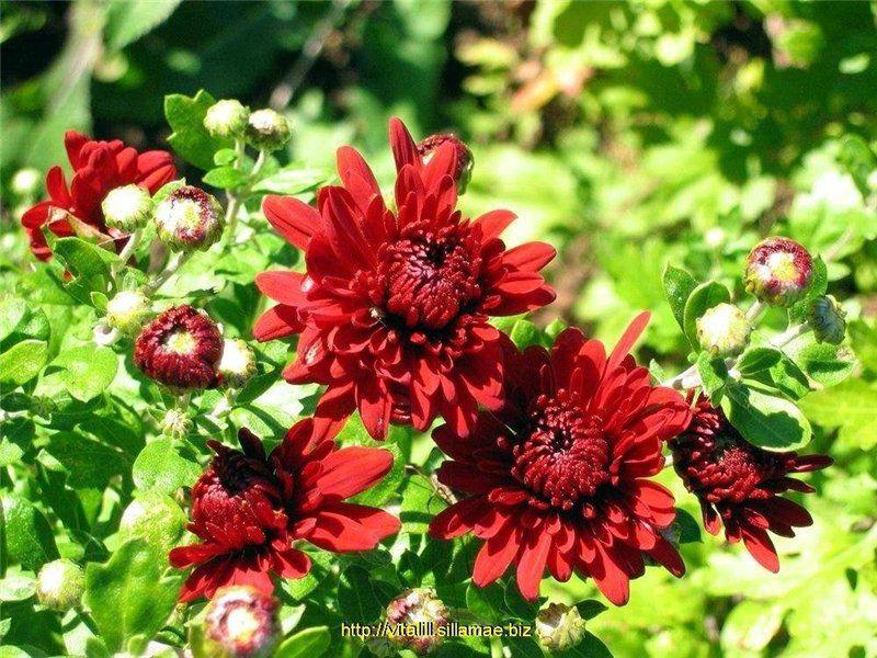 Дубки цветы уход