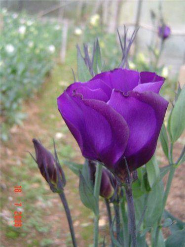 Цветы эустома лизиантус фиолетовые