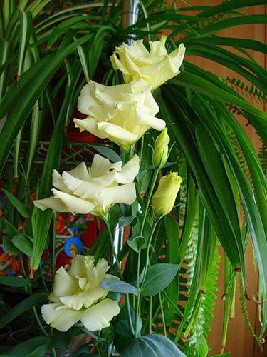 Цветы желтые эустома лизиантус фото