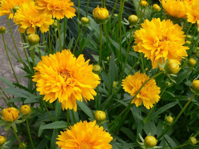 Цветы желтые кореопсис многолетний