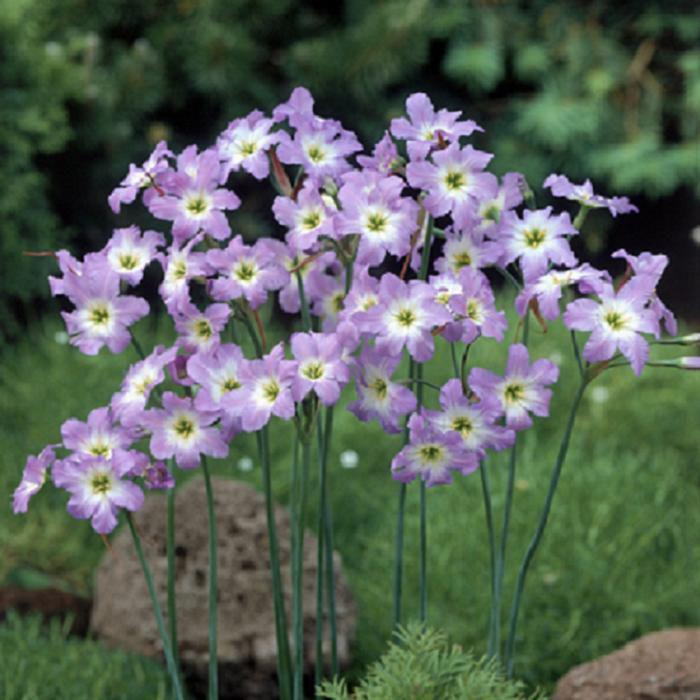 Цветы сиреневые леукокорин
