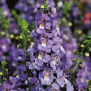 Ангелония Angelonia angustifolia