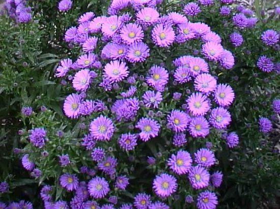 Каталог многолетних цветов для дачи: фото с названиями растений