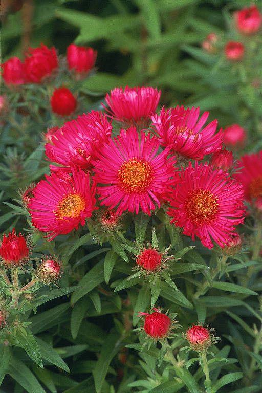 цветы красные Астра новоанглийская…