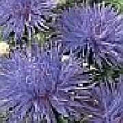 blue China Aster Garden Flowers photo